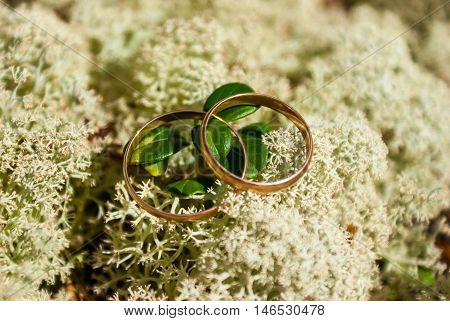 Two gold wedding rings lying on white lichen cladonia stellaris