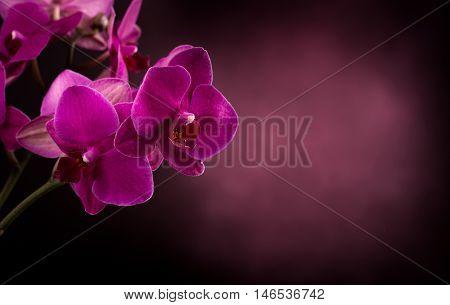 Magenta blossom phalaenopsis flower in dark blurred background