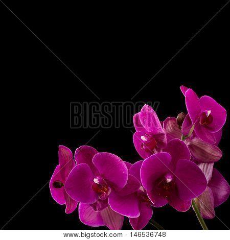 Magenta blossom orchid on dark background. Phalaenopsis flower.
