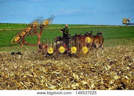 Lancaster County Pennsylvania - October 15 2015: Amish farmer with threshing machine pulled by four donkeys plowing under a field of corn stalks