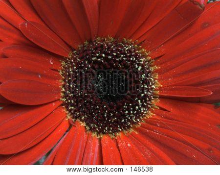 Flower - Gerbra