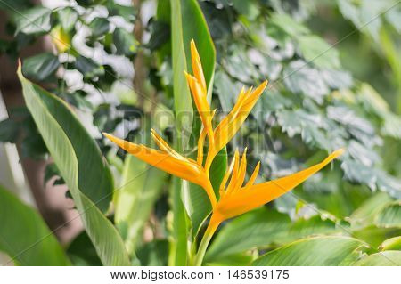 Yellow heliconia flowers close up green background concrete.