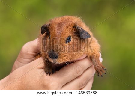 hands holding guinea pig on green blurred background