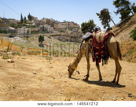 A camel in the Kidron Valley in Israel.