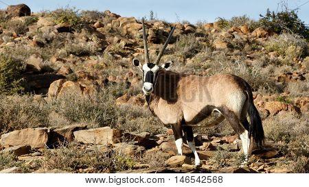 Gemsbok - Karoo National Park