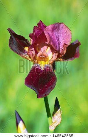 Iris Flower of Burgundy Color over the Green Background