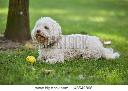 White Havanese Dog Lying In The Grass Of The Park
