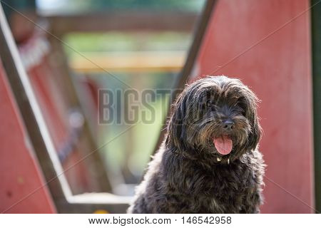 Havanese Dog Standing On A Playground