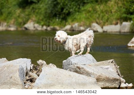 White Havanese Dot Sitting On A Rock Or Stone At A River