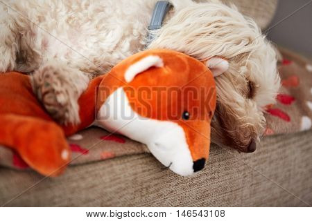 White Havanese Dog Sleeping On An Orange Toy Fox