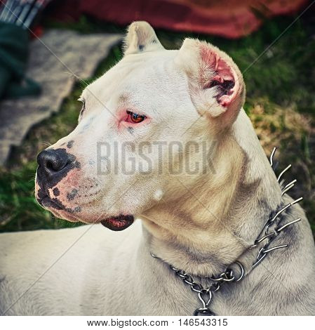 Portrai of American Staffordshire Terrier with Cropped Ears