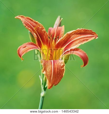 Red Lily Flower over the Green Background