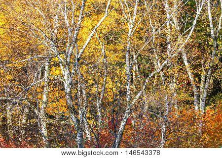 Beautiful Wisconsin autumn foliage with birch trees.