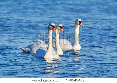 White Swans Resting on the Water in Black Sea