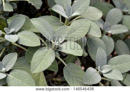 Close up of sage herb plants in a kitchen garden.