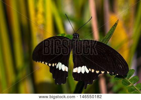 Black tropical butterfly in green leafs. Macro photography of nature.