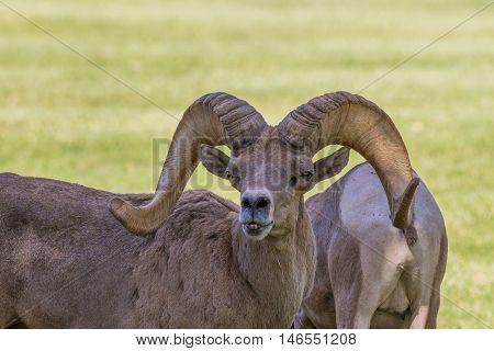 a nice desert bighorn sheep ram in the rut