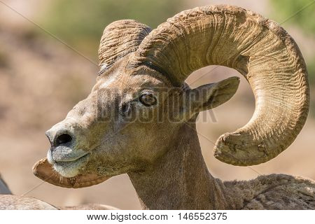 a close up portrait of a desert bighorn sheep ram