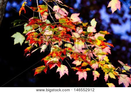 Beautiful, colorful, vivid maple branch in autumn.