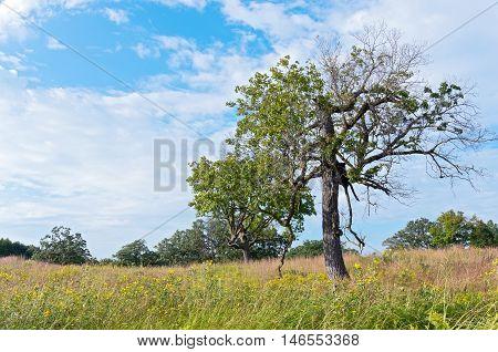 burr oak or quercus macrocarpa trees in prairie landscape of minnesota arboretum in chaska