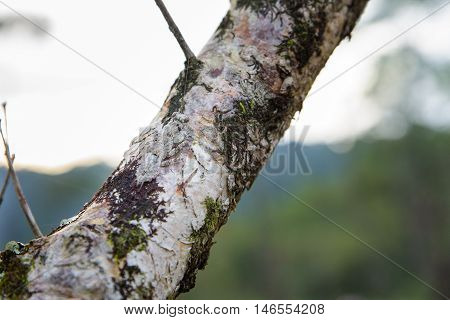 mantis camouflaged on tree brown branches in forest.