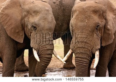 African elephants (Loxodonta africana) at waterhole in Addo Elephant National Park, South Africa, Africa