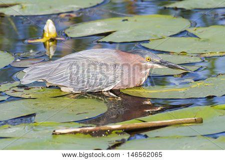 Green Heron wading in Viera wetlands shallows
