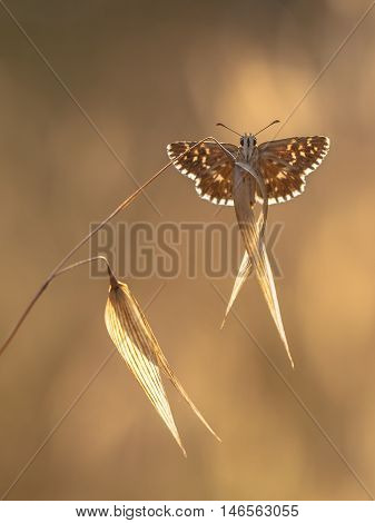 Grizzled Skipper Butterfly (pyrgus Malvae) On Grass Spike On Backlit Neutral Brown Background