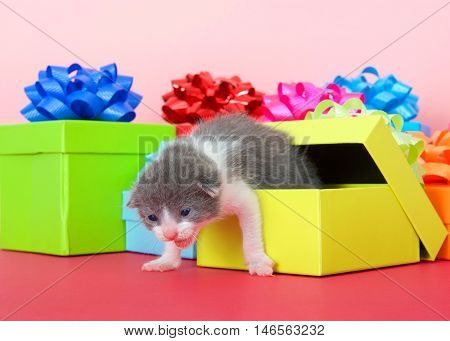 one week old kitten crawling out of a colorful birthday present box magenta table top pink background. Copy space