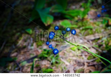 Berries in Sunny forest near Superior Lake Canada