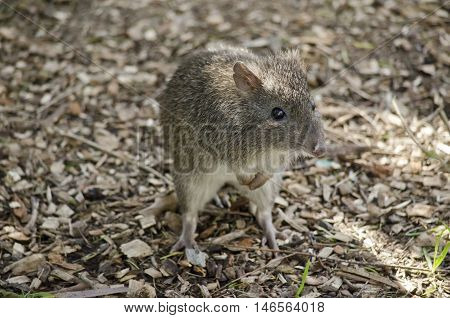 the long nosed potoroo is standing on his hind legs