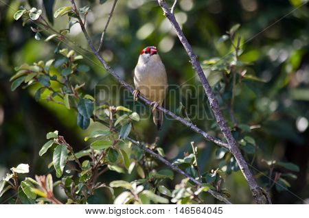 the red-browed finch is in a tree