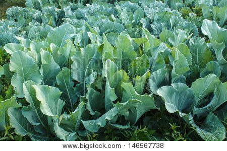The Kale plants in the agriculture garden.