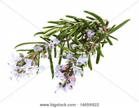 Branch Of Rosemary With Flowers