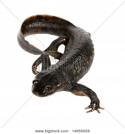 Newt On The White Background