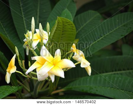 bunch of colorful plumeria frangipani flowers white and yellow  with green leaf