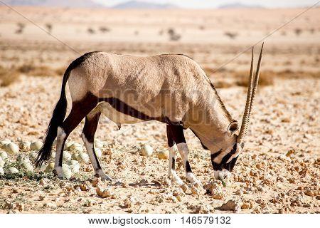 Oryx Smelling At Desert Melon.