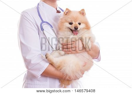 The Vet Holds The Dog Breed Spitz, On His Neck A Stethoscope, Isolated Background