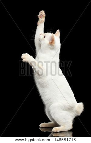 Curious Cat of Breed Mekong Bobtail without tail, Standing on Hind Legs to Catch prey Isolated Black Background, Color-point White Fur