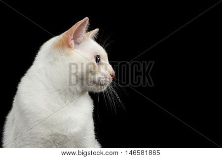 Close-up Portrait of Mekong Bobtail Cat with Blue eyes in Profile view, Isolated Black Background, Color-point White Fur