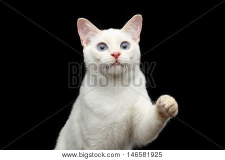 Close-up Portrait of Playful Mekong Bobtail Cat with Blue eyes, Red nose, Raising up paw, Isolated Black Background, Color-point White Fur