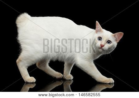 Afraid Cat of Breed Mekong Bobtail without tail, Walking and Looking up, Isolated Black Background, Color-point White Fur