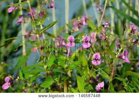 Closeup of a large dark pink flowering Himalayan Balsam or Impatiens glandulifera plant at the banks of a small river in summertime.