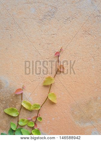 Colorful Ficus Pumila (MORACEAE) vines climbing on orange cement wall with copy space Vertical