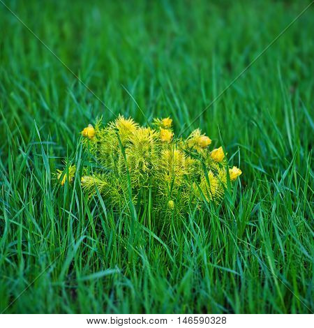 Adonis spring flower on a background of green grass