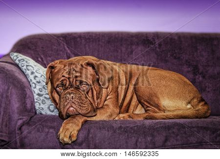 Dogue De Bordeaux On A Sofa - Female Portrait