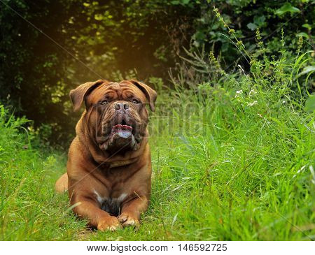Beautiful Dogue De Bordeaux - Female Portrait