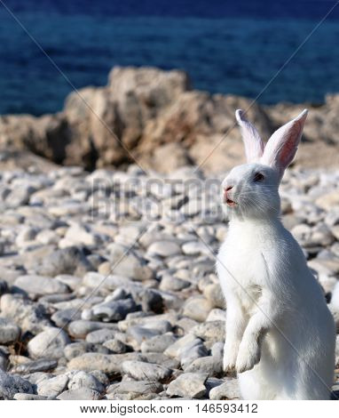 White rabbit in a little uninhabited  island in Croatia near Korcula island.