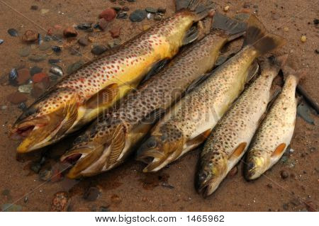 Five Trouts