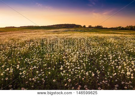 Camomile growing in the meadow. May landscape. Masuria Poland.